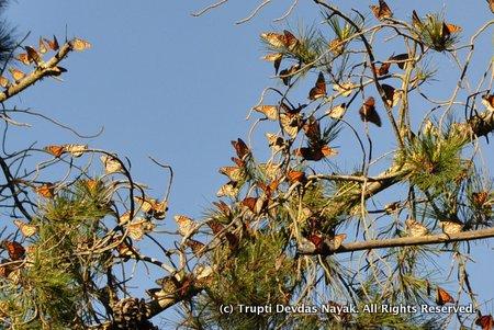 MonarchButterflies_SantaCruz_TruptiDevdasNayak